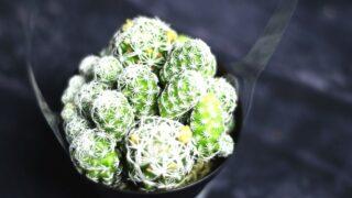 Thimble Cactus Care
