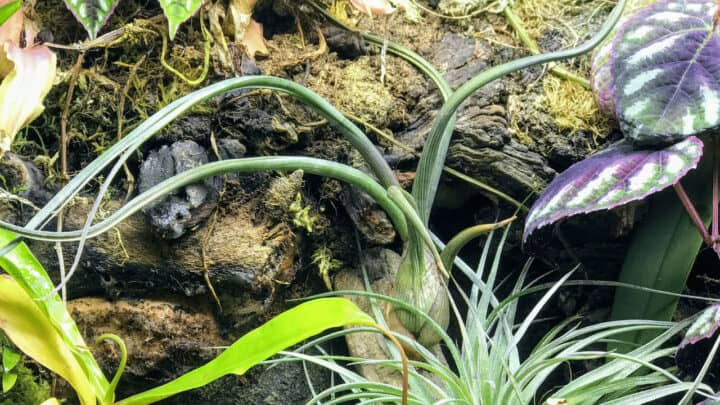 Tillandsia Bulbosa  Care  – What You Need To Know