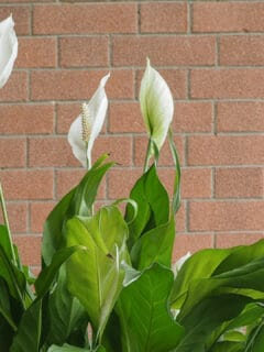 Tips of a Peace Lily are Turning Brown