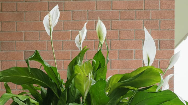 Tips of a Peace Lily are Turning Brown – WHY?
