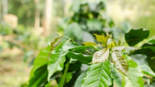 What Causes Coffee Plants to Have Brown Leaves