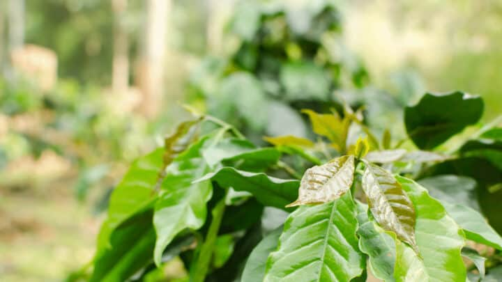 What Causes Coffee Plants to Have Brown Leaves? 4 Major Causes