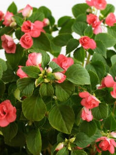 What Causes Impatiens to Wilt