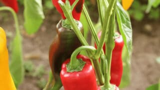 What Causes Pepper Plants to Wilt