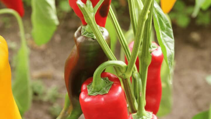 What Causes Pepper Plants to Wilt? Knew It!