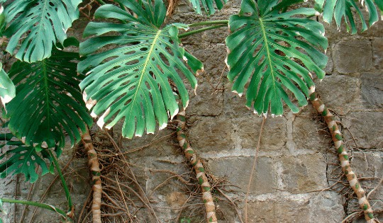 What To Do with Monstera Deliciosa Aerial Roots