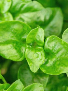 White Spots On Spinach