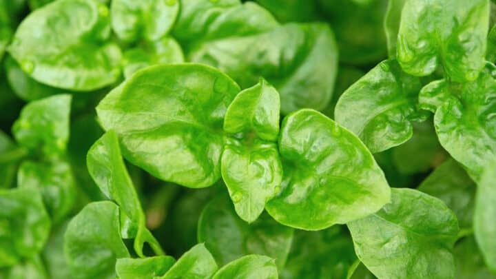 What Causes White Spots On Spinach? The Answer