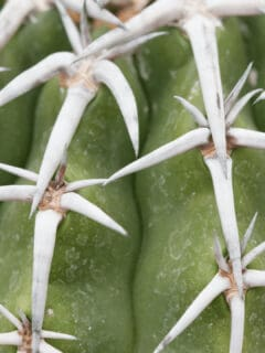 White Spots on Cacti