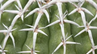White Spots on Cacti