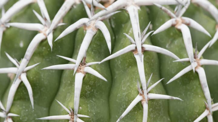 White Spots on Cacti – Reasons And Remedies