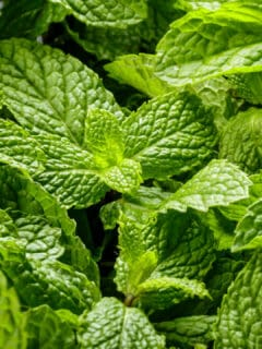 White Spots on Mint Leaves