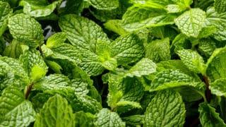 White Spots on Mint Leaves