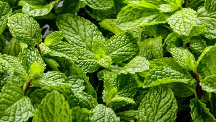 White Spots on Mint Leaves: Reasons, Remedies, Prevention
