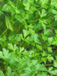 White Spots on Parsley