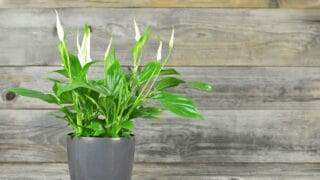 Why A Peace Lily is Drooping