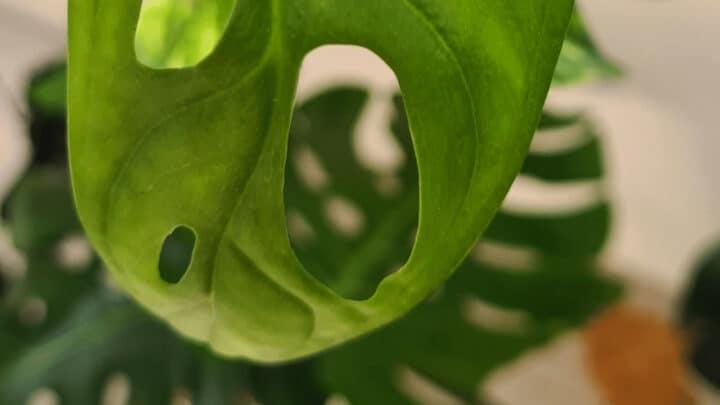 4 Reasons Why Monstera Adansonii Leaves are Curling