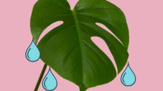 Why Monstera Deliciosa Is Weeping