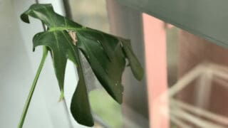 Why Monstera Deliciosa Leaves Curl