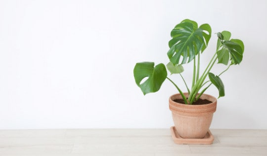 Why Your Monstera Deliciosa Is Dying