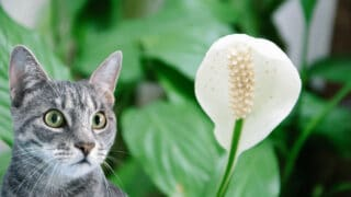 Will Peace Lily Hurt Cats