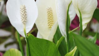 Will a Peace Lily Root in Water