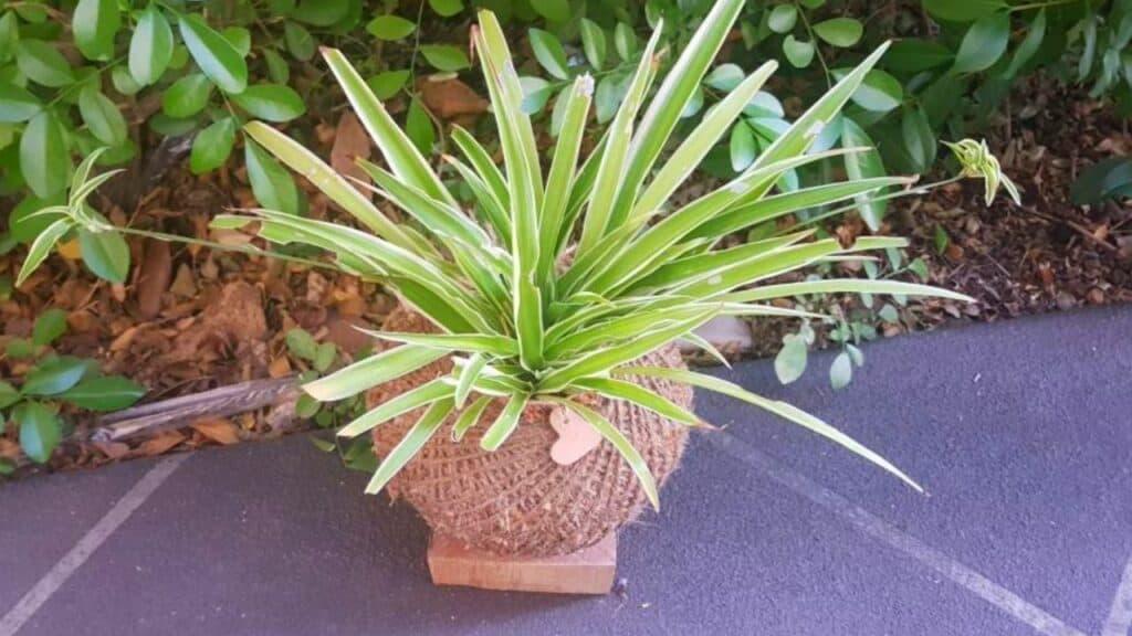 Spider Plant Kokedama