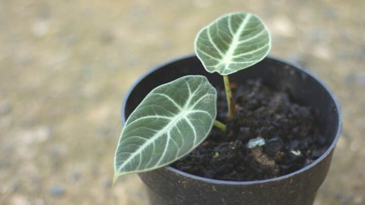 "Alocasia ""Black Velvet"" Care Guide — All You Need to Know!"