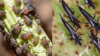 Aphids vs. Thrips