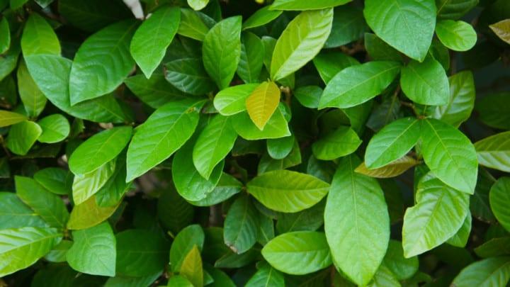 Asian Jasmine Care Guide – A Gardeners Dream