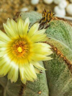 Astrophytum Myriostigma Bishop's Cap Cactus