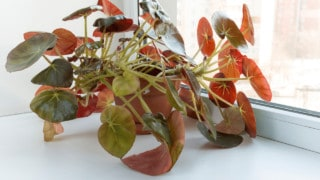 Beefsteak Begonia Care