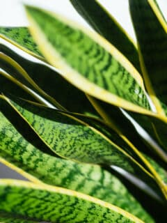 Curly Leaves on Snake Plants