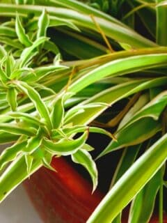 Curly Leaves on Spider Plants