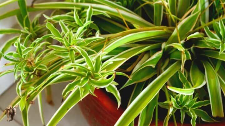 Curly Leaves on Spider Plants: 4 Reasons & Remedies