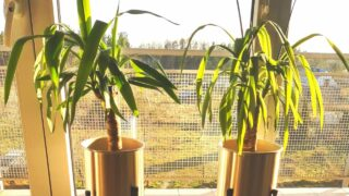 Curly Leaves on Yucca Plants Update