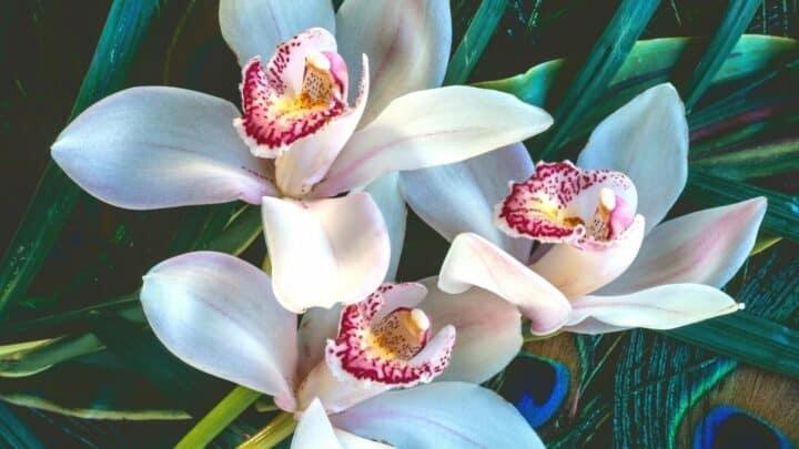 Cymbidium Orchid Care Guide – Pro Tips!