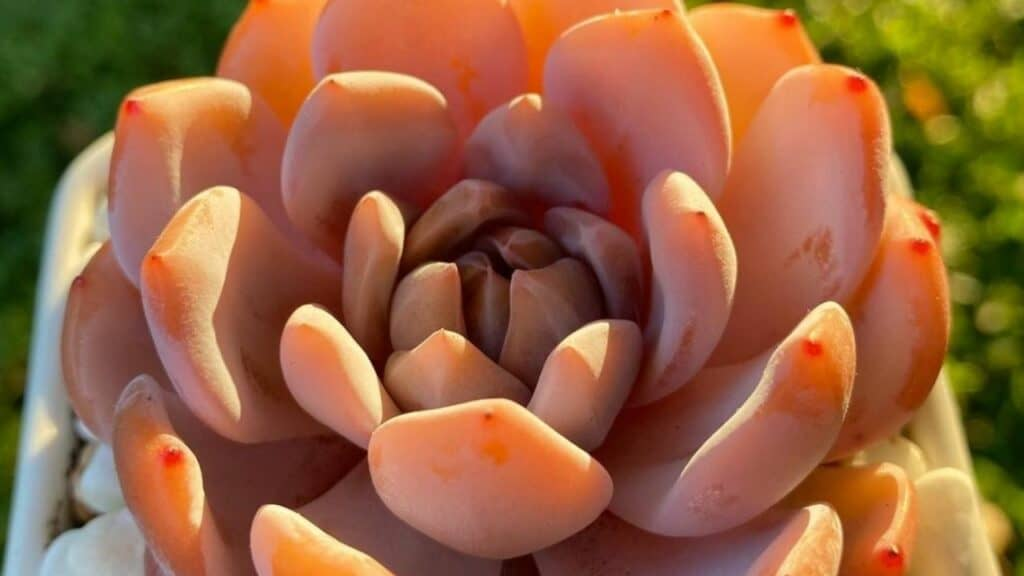 Echeveria Orange Monroe