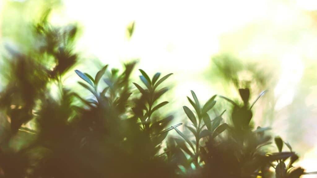 Ficus Tree Bonsai (Ficus Retusa Bonsai)