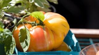 German Queen Tomatoes Heirloom Tomato