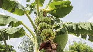 How To Prune Banana Trees
