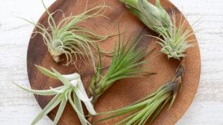 How fast do air plants grow