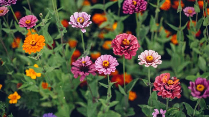 How to Prune Zinnias – All You Need to Know!