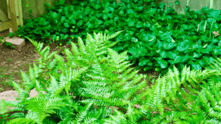 How to transplant Ferns