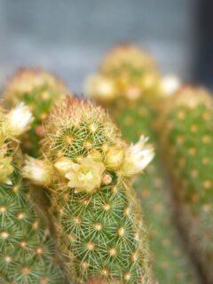 Ladyfinger Cactus Care