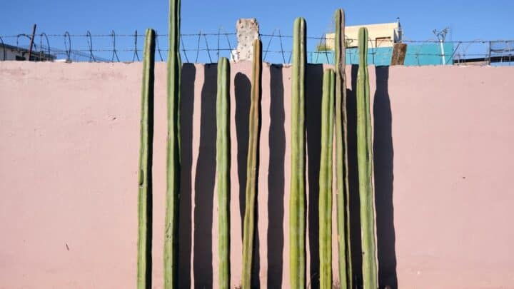 Mexican Fence Post Cactus Care Guide — Our Top Tips!