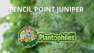 Pencil Point Juniper Care