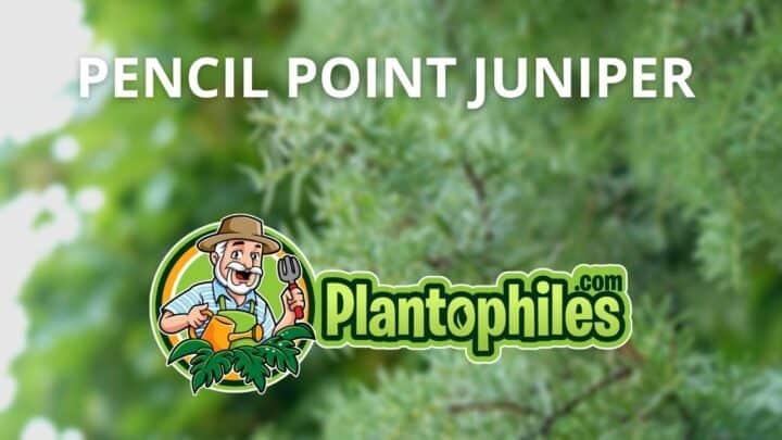 Juniperus Communis 'Pencil Point' Care – The Complete Guide