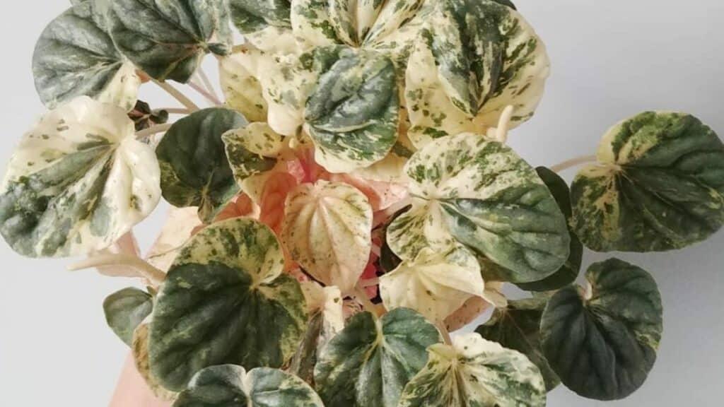 Peperomia Griseoargentea