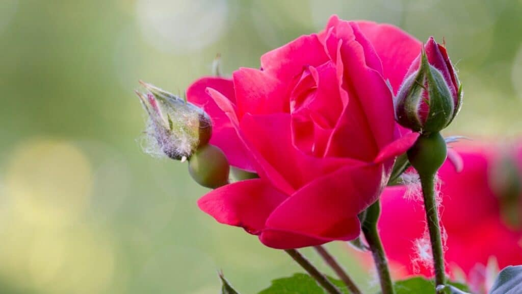 Powdery Mildew on Roses